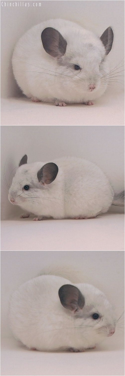 3062 White Mosaic Female Chinchilla