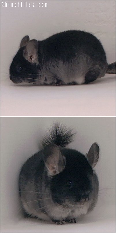 3023 Top Show Quality Black Velvet Female Chinchilla