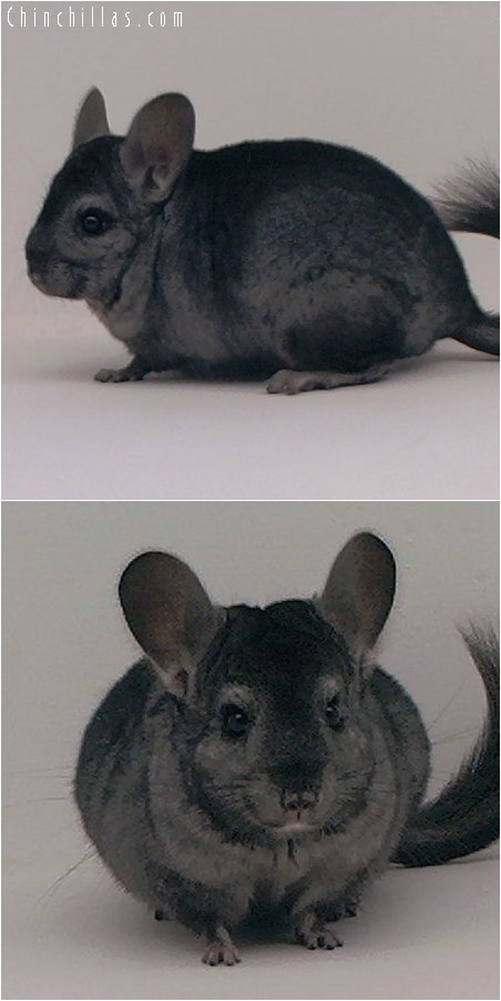 3068 Hetero Ebony Female Chinchilla