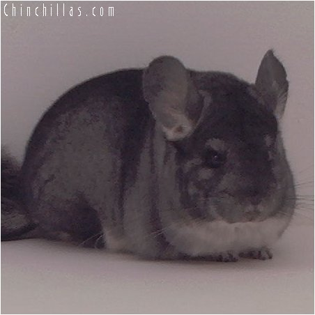 3054 Standard Female Chinchilla