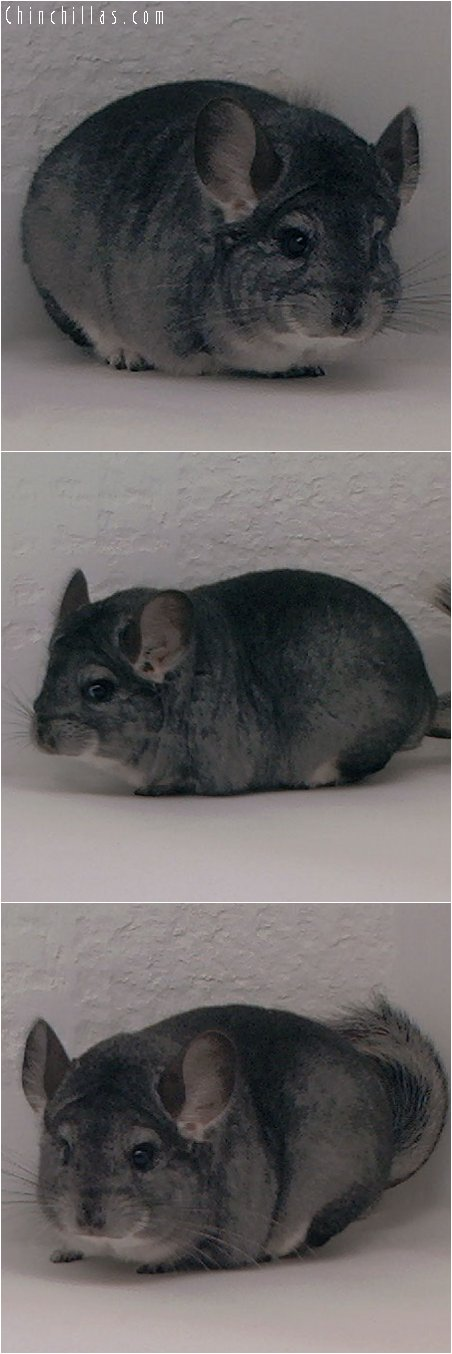 3092 Standard ( ebony carrier ) Female Chinchilla