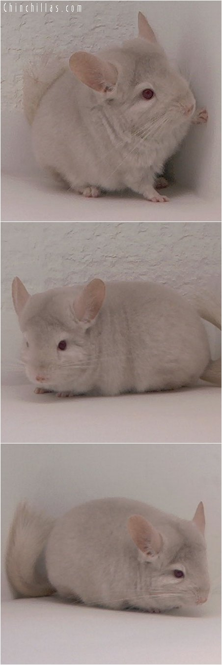 3091 Homozygous Beige Female Chinchilla