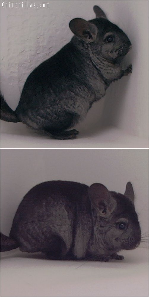 3085 Ebony ( violet carrier ) Female Chinchilla
