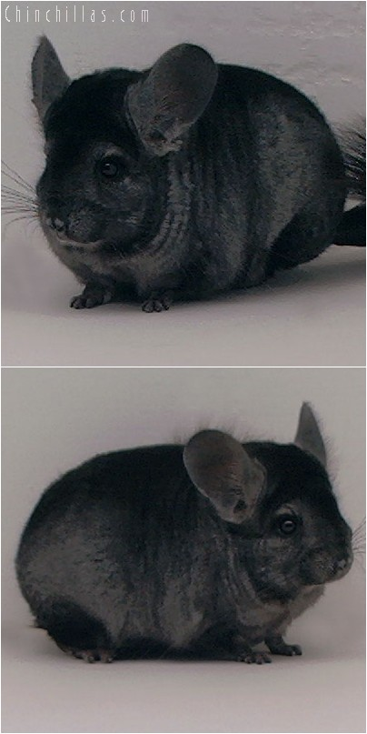 3098 Hetero Ebony Male Chinchilla