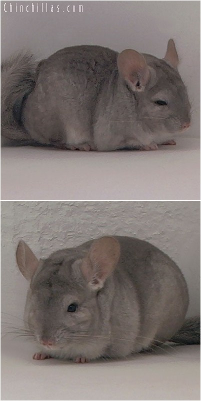 3100 Dwarf / Mini Beige Female Chinchilla