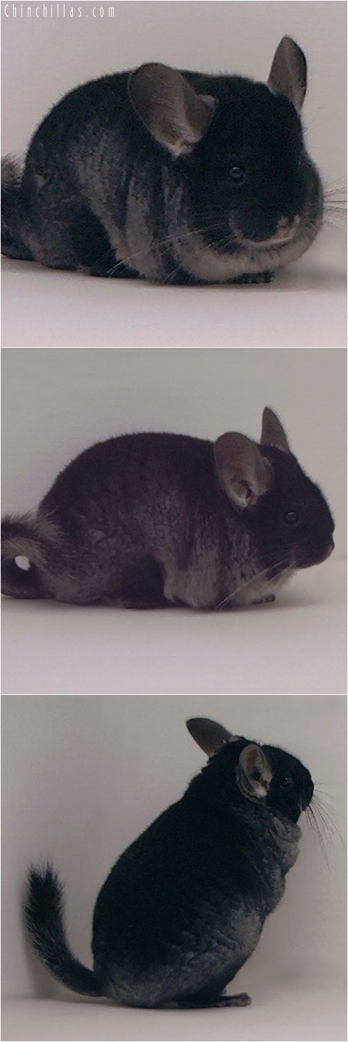 3101 Black Velvet ( Ebony Carrier ) Female Chinchilla