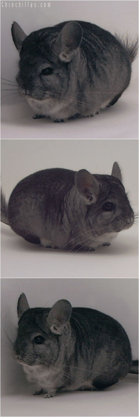 3107 Standard Male Chinchilla