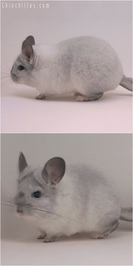 3075 Silver Mosaic Female Chinchilla