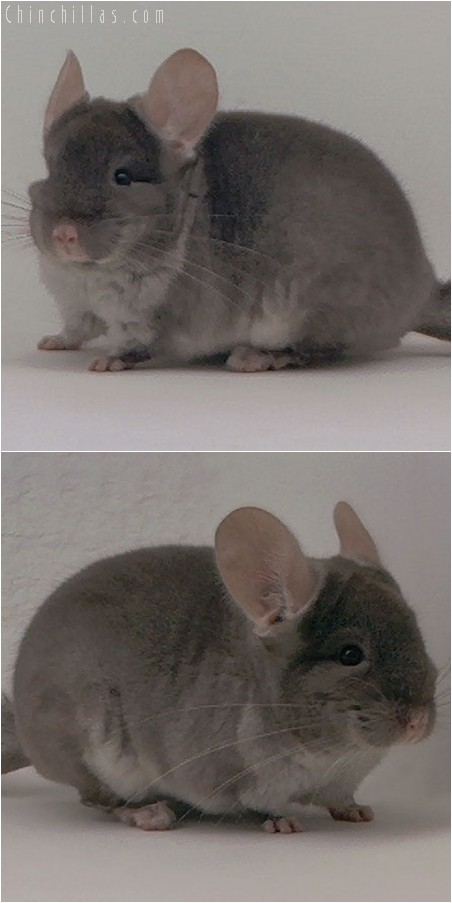 3111 Top Show Quality TOV Beige Female Chinchilla