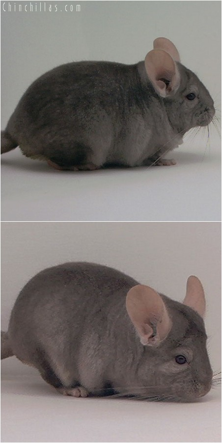 3112 Show Quality Tan Male Chinchilla