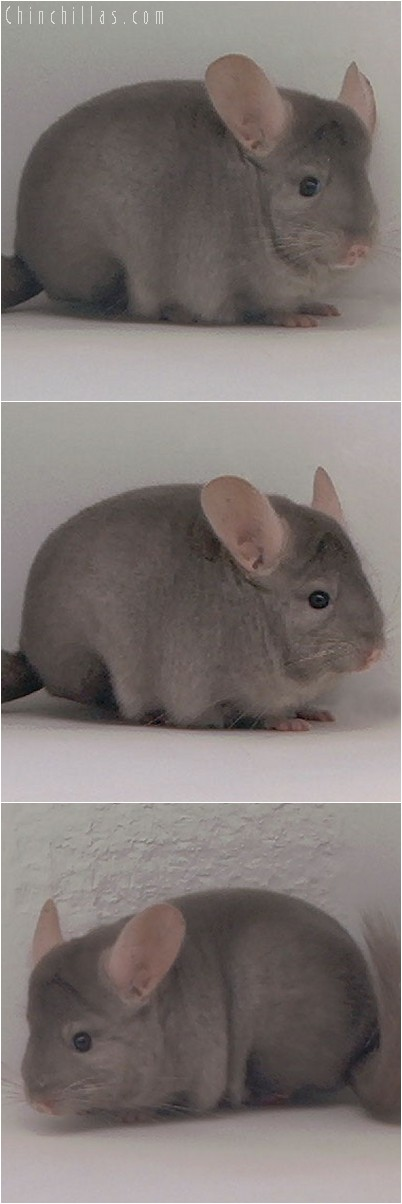 3110 Show Quality Tan Female Chinchilla