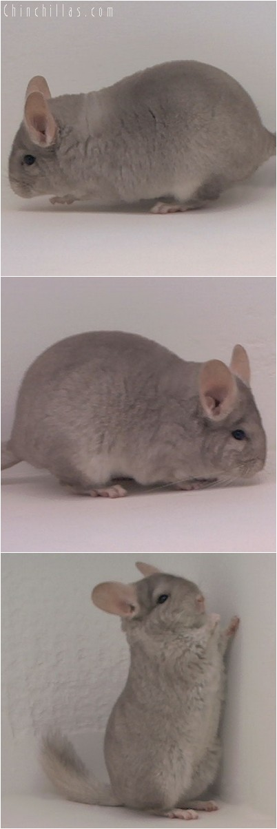 3102 Show Quality Beige Female Chinchilla