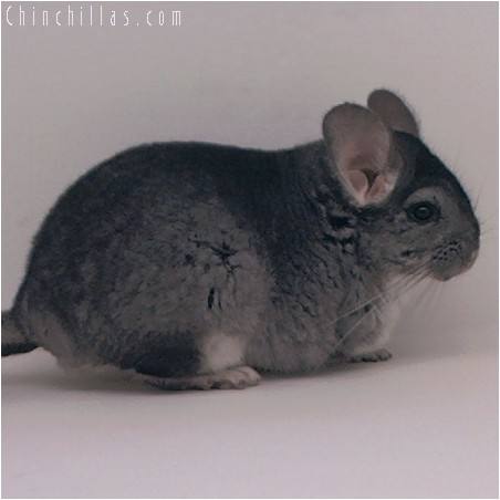 3071 Large Show Quality Standard Female Chinchilla