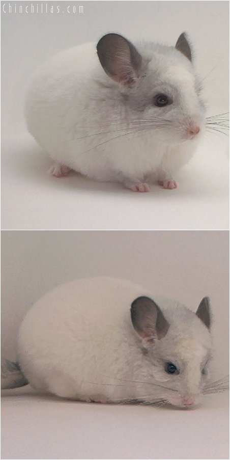 3073 White Mosaic Male Chinchilla