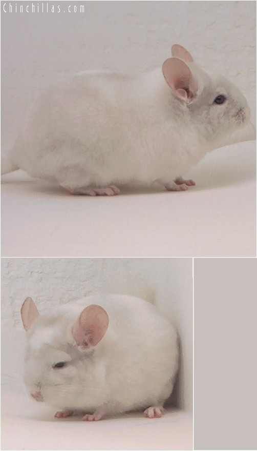3099 Pink White Male Chinchilla