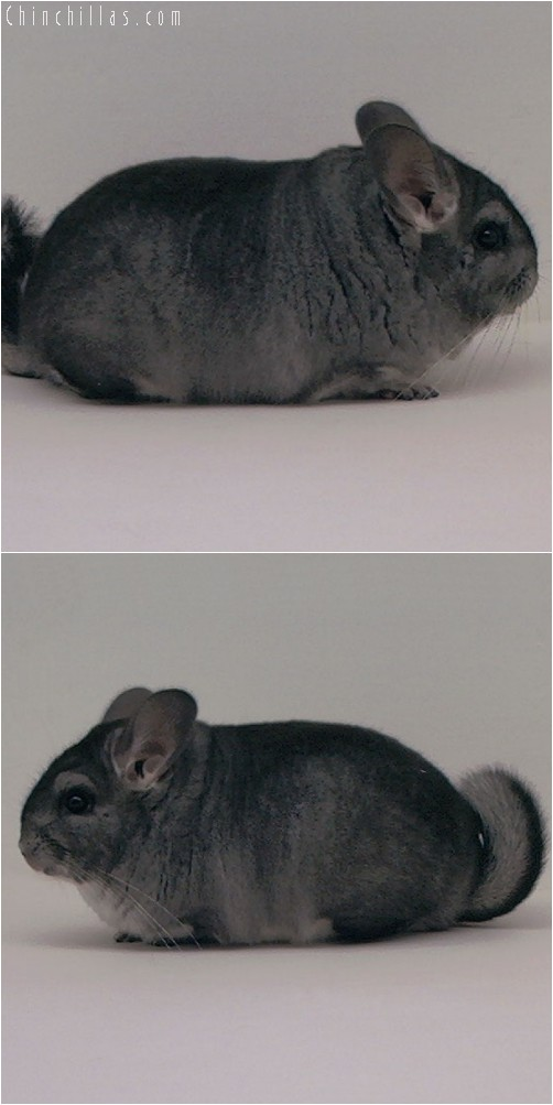 3097 Show Quality Standard Female Chinchilla