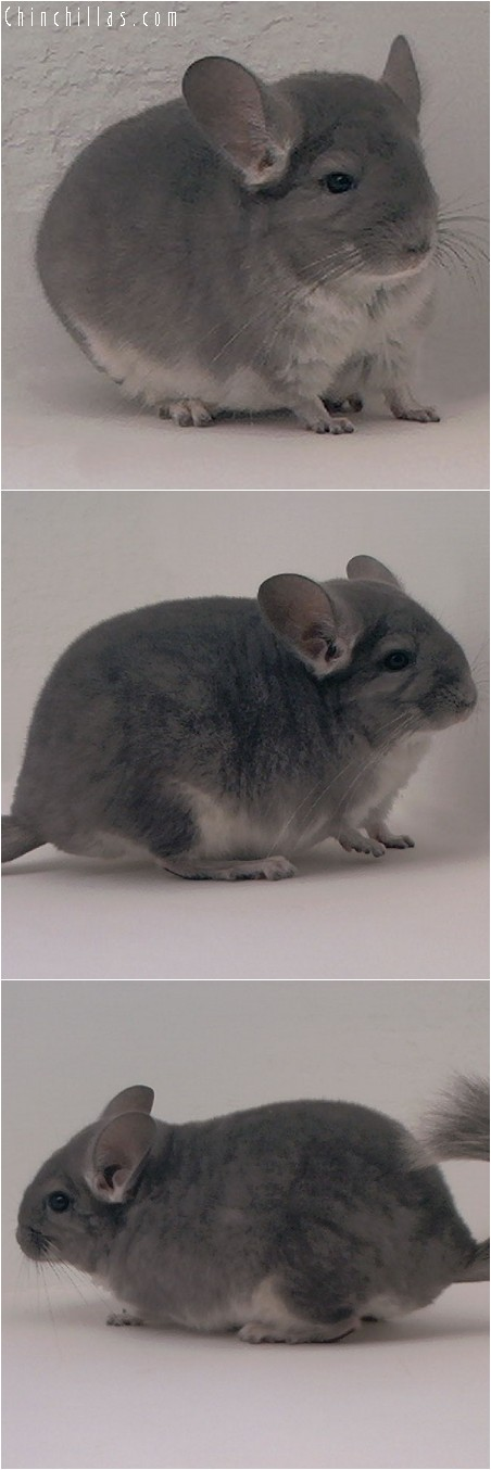 3105 Violet Female Chinchilla