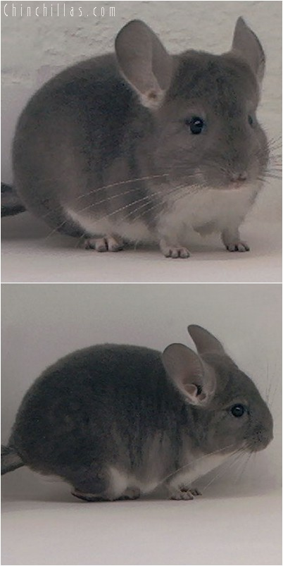 3119 Show Quality Violet Female Chinchilla