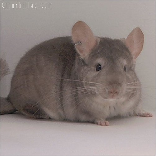3045 Intermediate Show Quality Beige Male Chinchilla