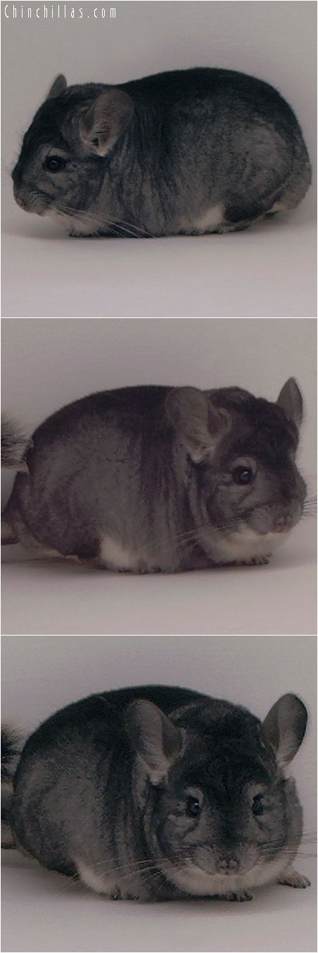 3025 Large Herd Improvement Standard Male Chinchilla