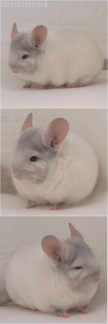 4006 Show Quality TOV Pink White ( Ebony Carrier ) Female Chinchilla