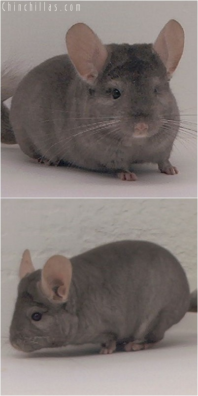 3135 Show Quality Tan Male Chinchilla