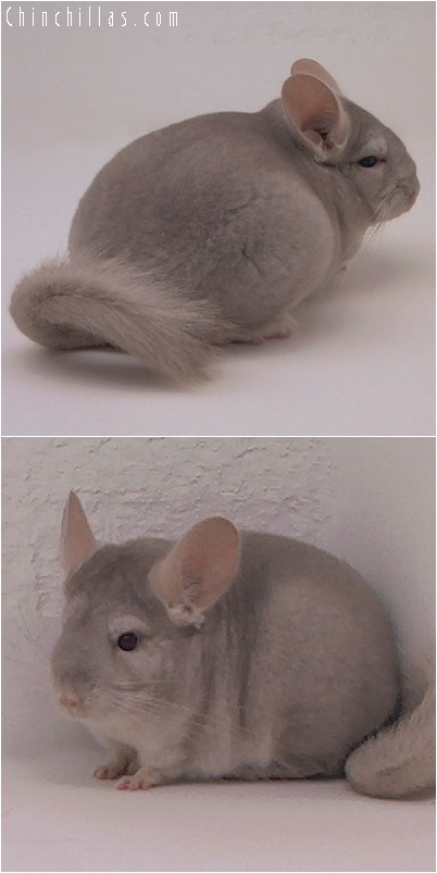 3084 Beige Female Chinchilla