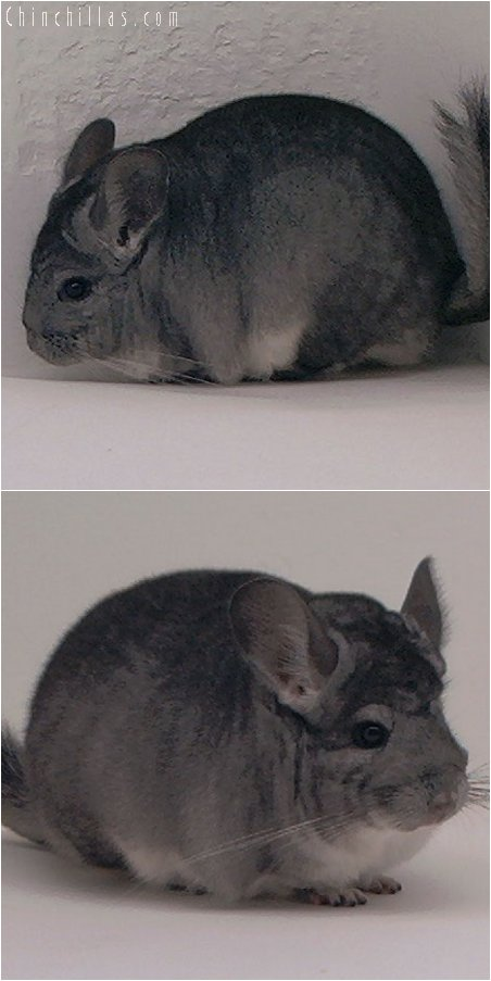 3036 Show Quality Standard Female Chinchilla