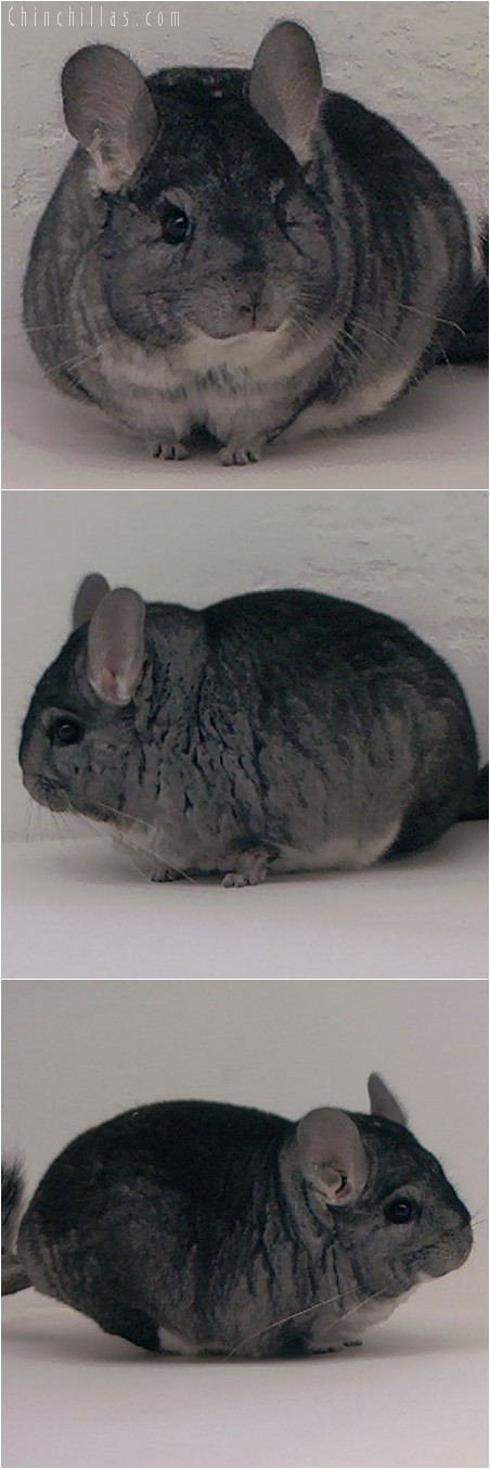 3116 Show Quality Brevi type Standard Male Chinchilla