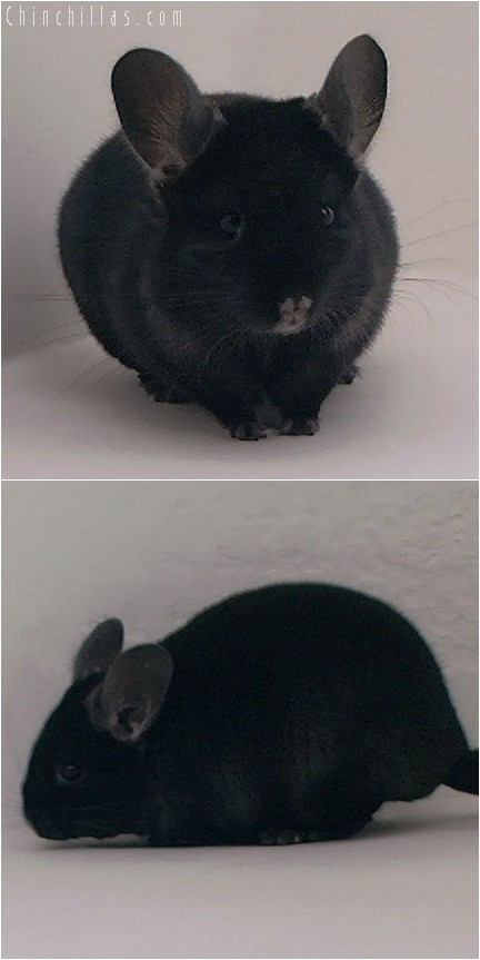 3142 Top Show Quality TOV Ebony Female Chinchilla