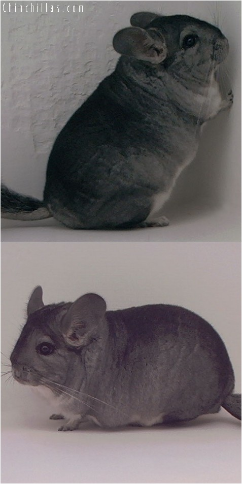 4010 Show Quality Standard Female Chinchilla