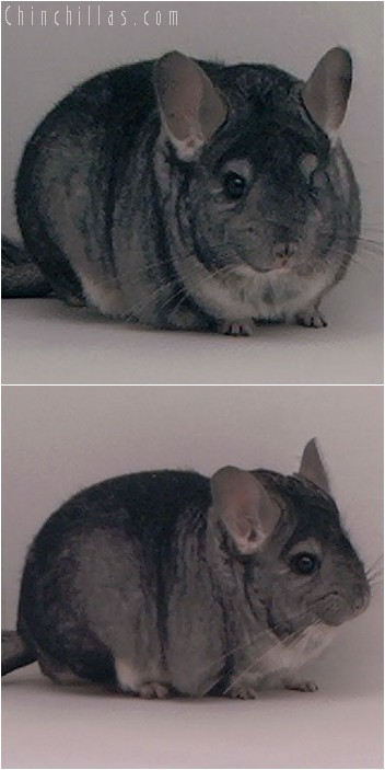 3133 Top Show Quality Standard Male Chinchilla