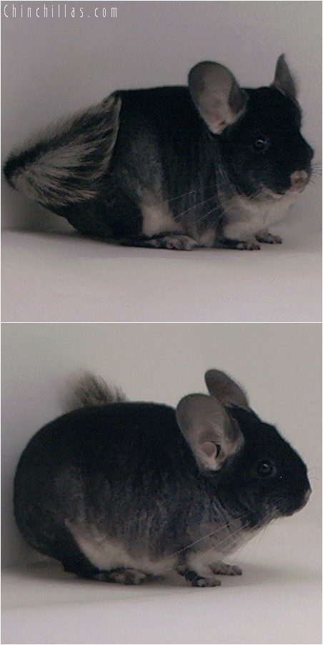 3096 Show Quality Black Velvet Female Chinchilla