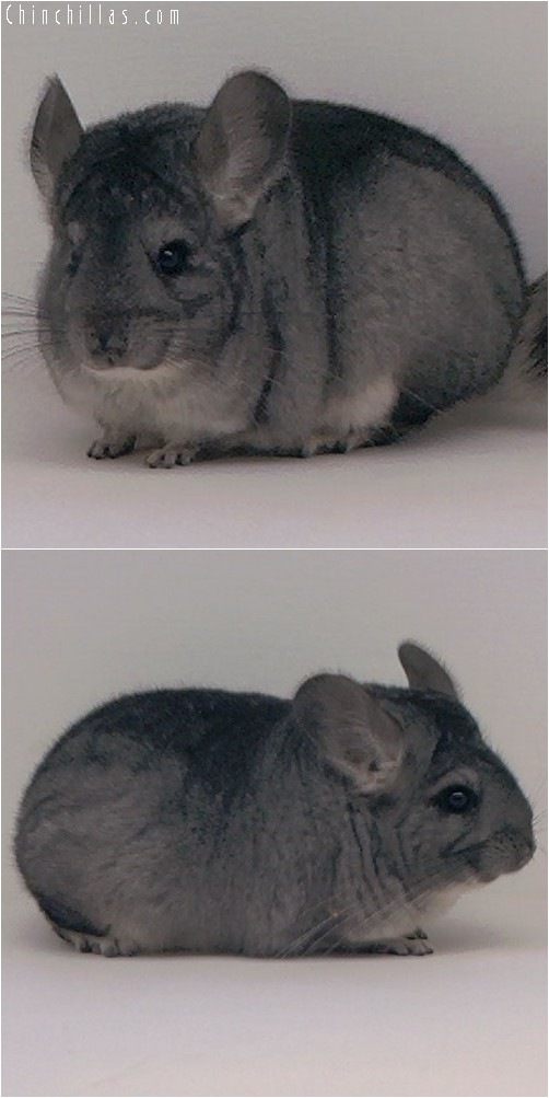 3114 Showable Standard Female Chinchilla