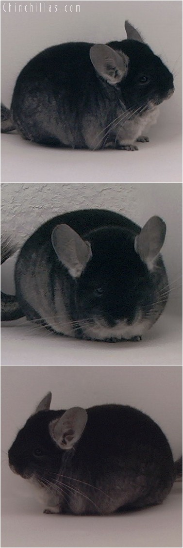 3137 Extra Blocky Show Quality Black Velvet Female Chinchilla