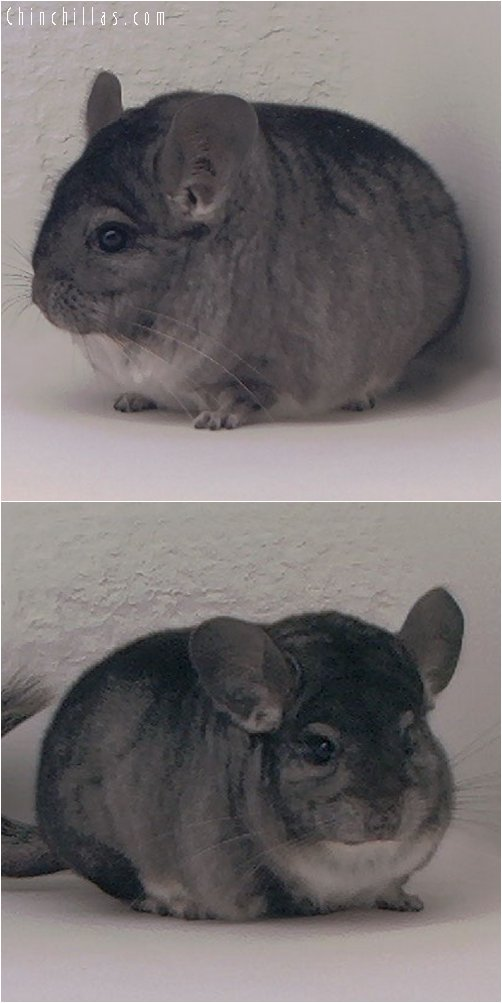 3053 Show Quality Standard Male Chinchilla