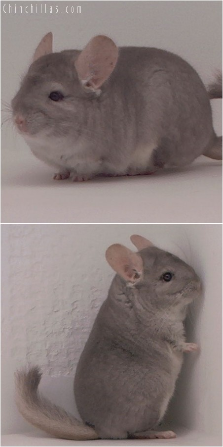 3120 Show Quality Beige Female Chinchilla