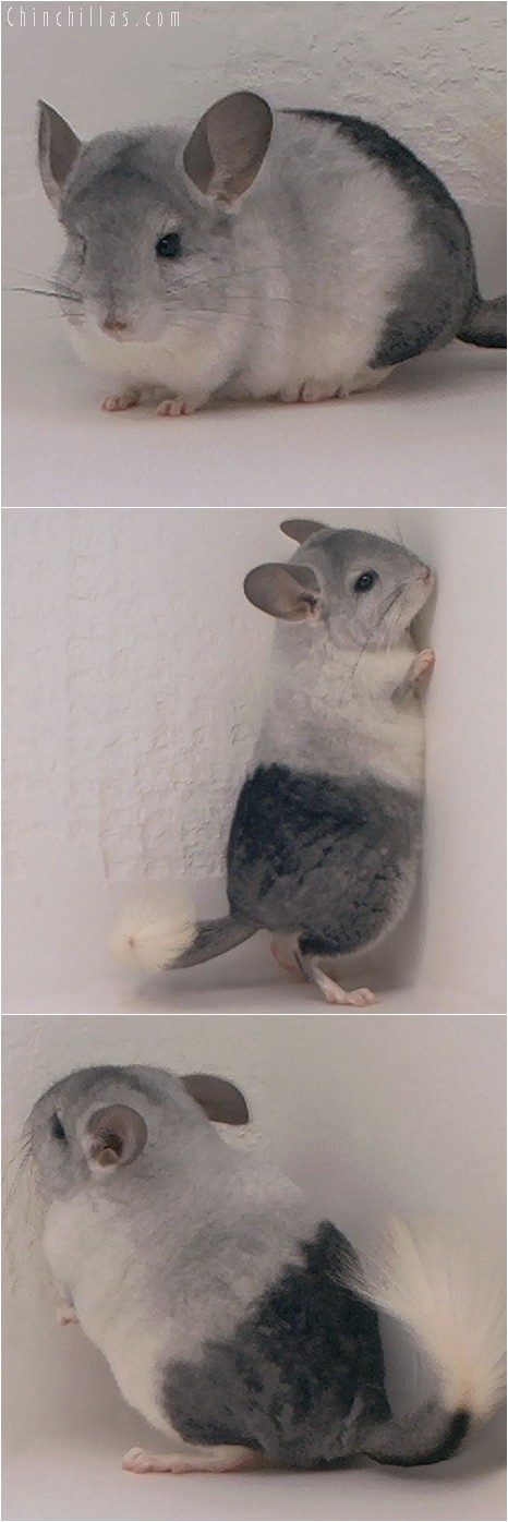 3136 Extreme, Unique Mosaic Female Chinchilla
