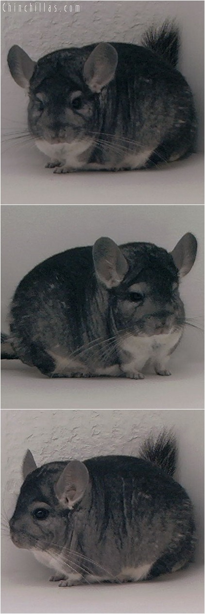 3146 Showable Standard Male Chinchilla