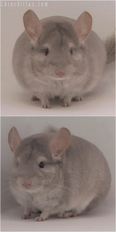 4012 Showable Quality Beige Male Chinchilla