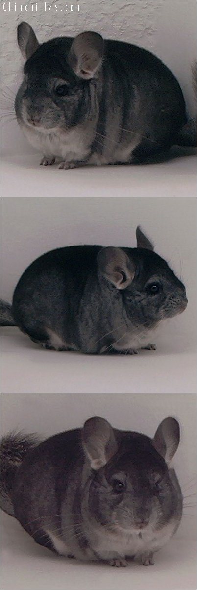 3094 Standard ( ebony carrier ) Female Chinchilla