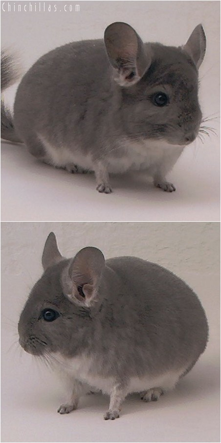 3123 Showable Violet Male Chinchilla