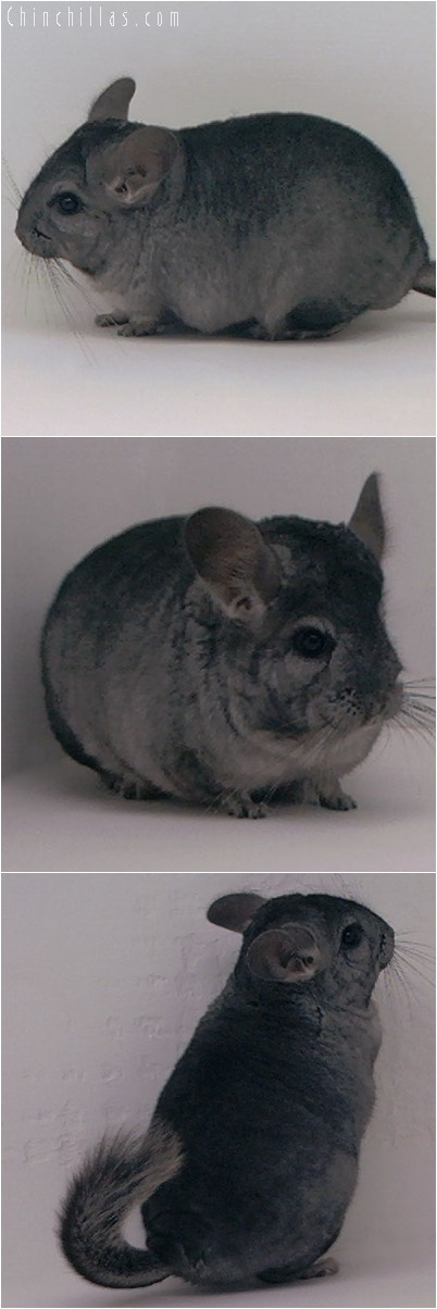 3125 Show Quality Hetero Ebony Female Chinchilla
