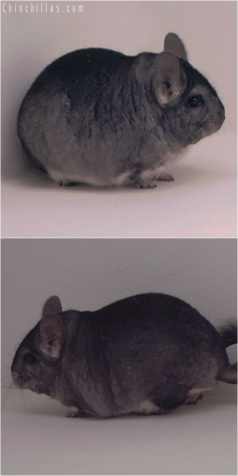 3095 Standard Male Chinchilla