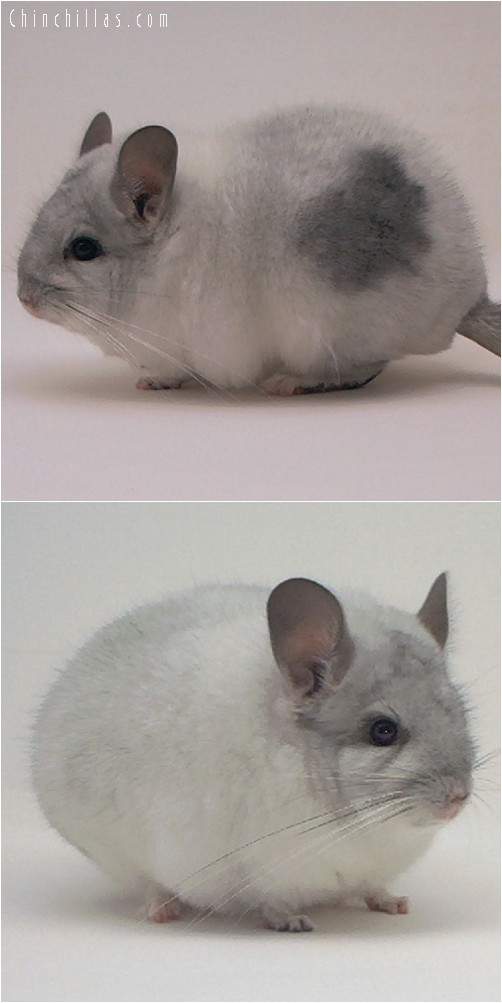 3121 Top Show Quality Unusual Mosaic Male Chinchilla