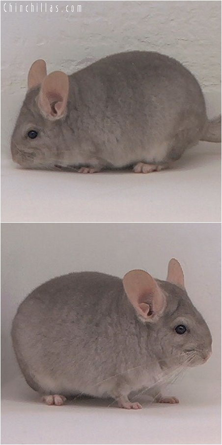 3082 Beige Female Chinchilla