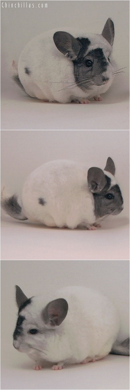 4029 Extreme Mosaic Male Chinchilla