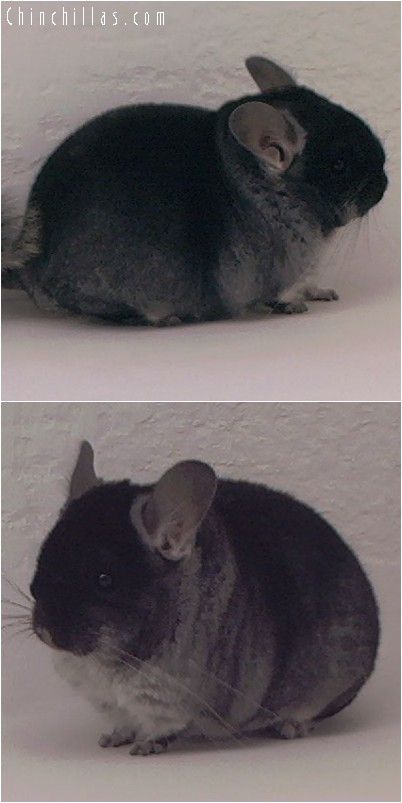 4042 Show Quality Black Velvet Female Chinchilla