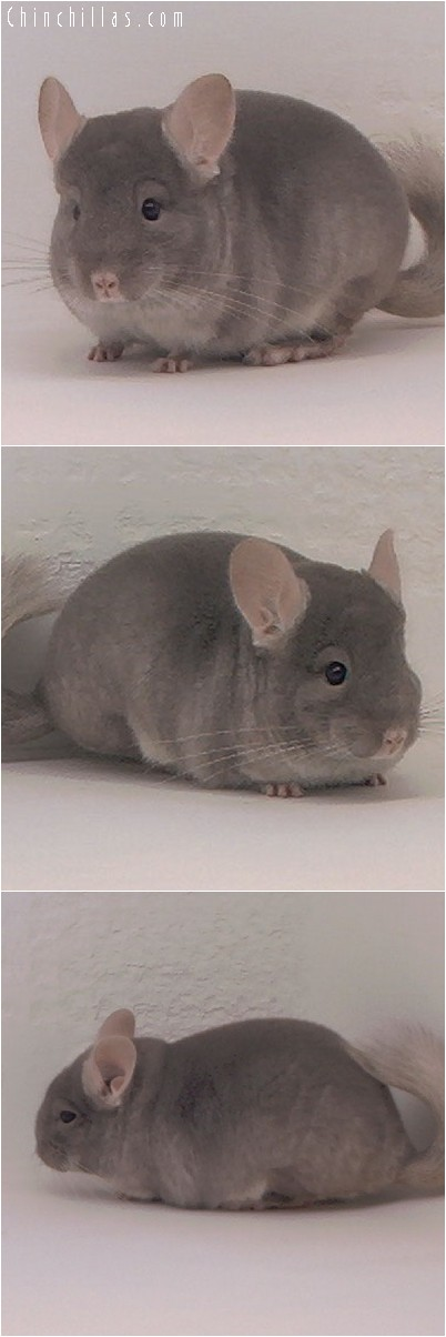 4041 TOV Beige / Brown Velvet Female Chinchilla