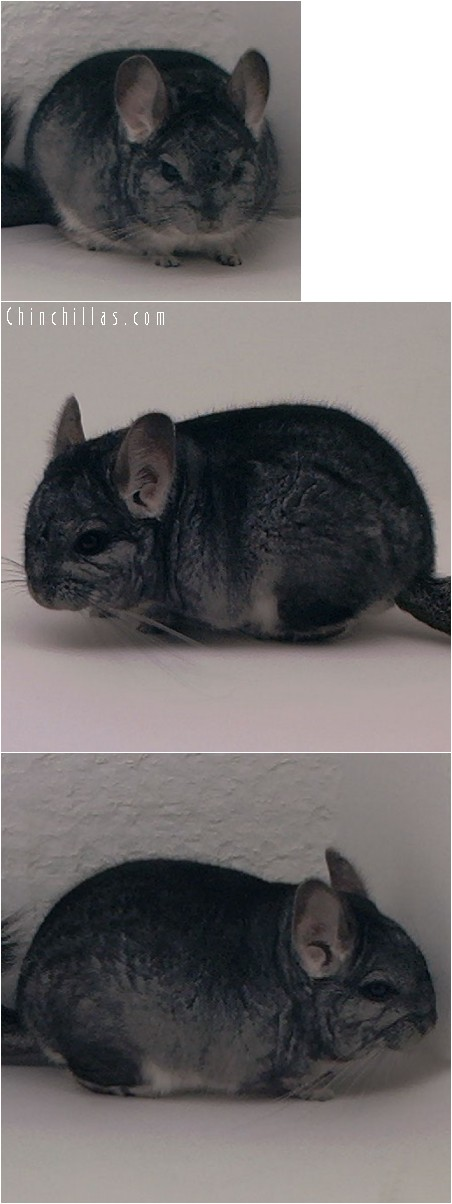 4015 Dwarf / Mini Standard Male Chinchilla